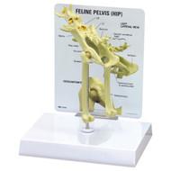 Feline Hip Anatomical Model