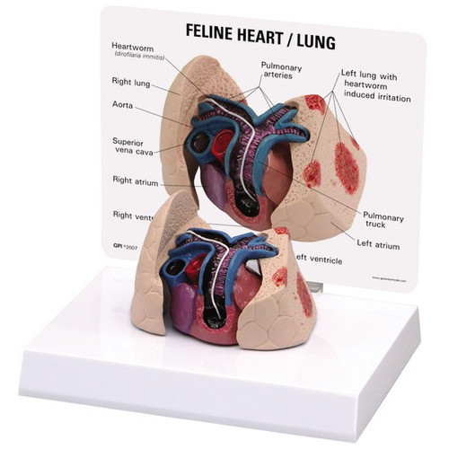 Feline Heart and  Lung Model
