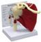 Shoulder Joint Rotator Cuff Anatomical Model