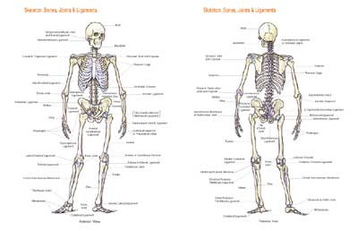 Skeletal Chart Clinical Charts And Supplies