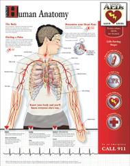 Human Anatomy Poster