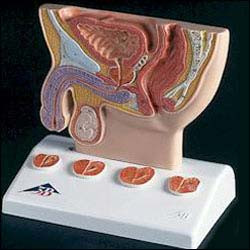 Prostate Model Clinical Charts And Supplies