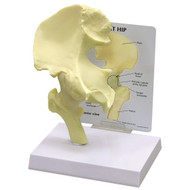 Hip Anatomical Model Basic