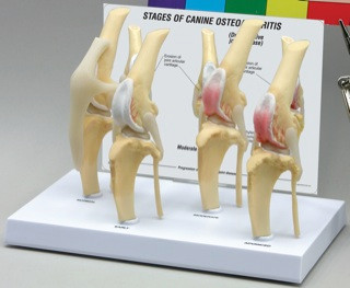 Canine Knee Model - 4 stages of Osteoarthritis