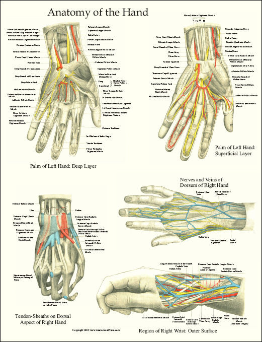 Hand And Wrist Anatomy Laminated Poster Clinical Charts And Supplies
