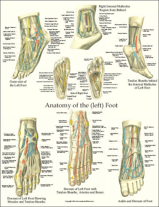 Foot Anatomy Laminated Poster Clinical Charts And Supplies