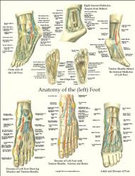 Foot Anatomy Laminated Poster