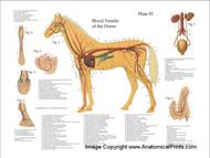 Horse Vascular System Poster