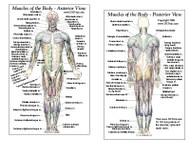Muscle Anatomy Card - Anterior & Posterior