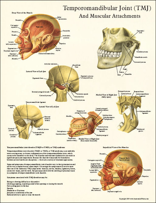 Tmj Anatomy And Muscular Attachments Poster Clinical