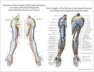 Cutaneous innervation of the upper extremities