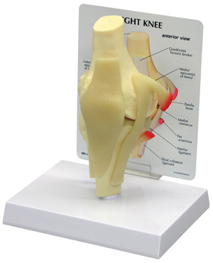 Knee Anatomical Model