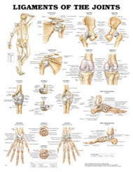 Ligaments of the Joints Anatomical Poster