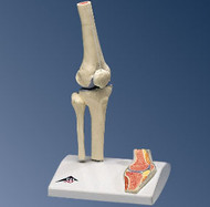Knee Joint Model with Cross Section (Mini )