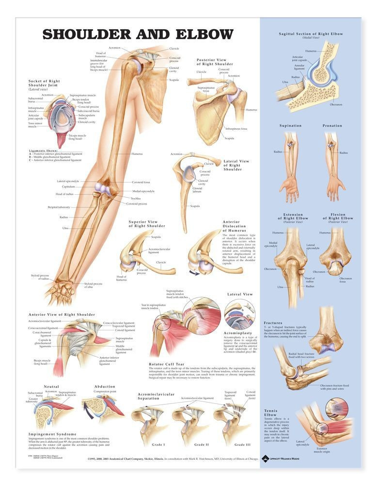 Shoulder And Elbow Anatomical Poster Clinical Charts And Supplies