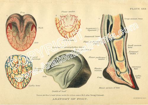 Horse Foot Anatomy - Clinical Charts and Supplies