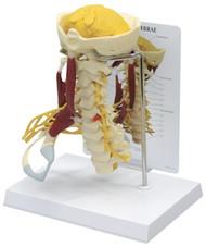 Cervical Vertebrae Deluxe Muscled Model