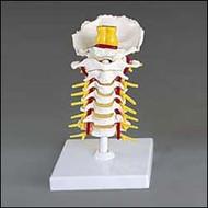 Cervical Vertebral Column Model Flexible