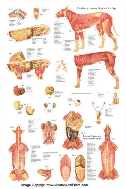 Dog Muscles And Internal Anatomy Chart Clinical Charts And Supplies