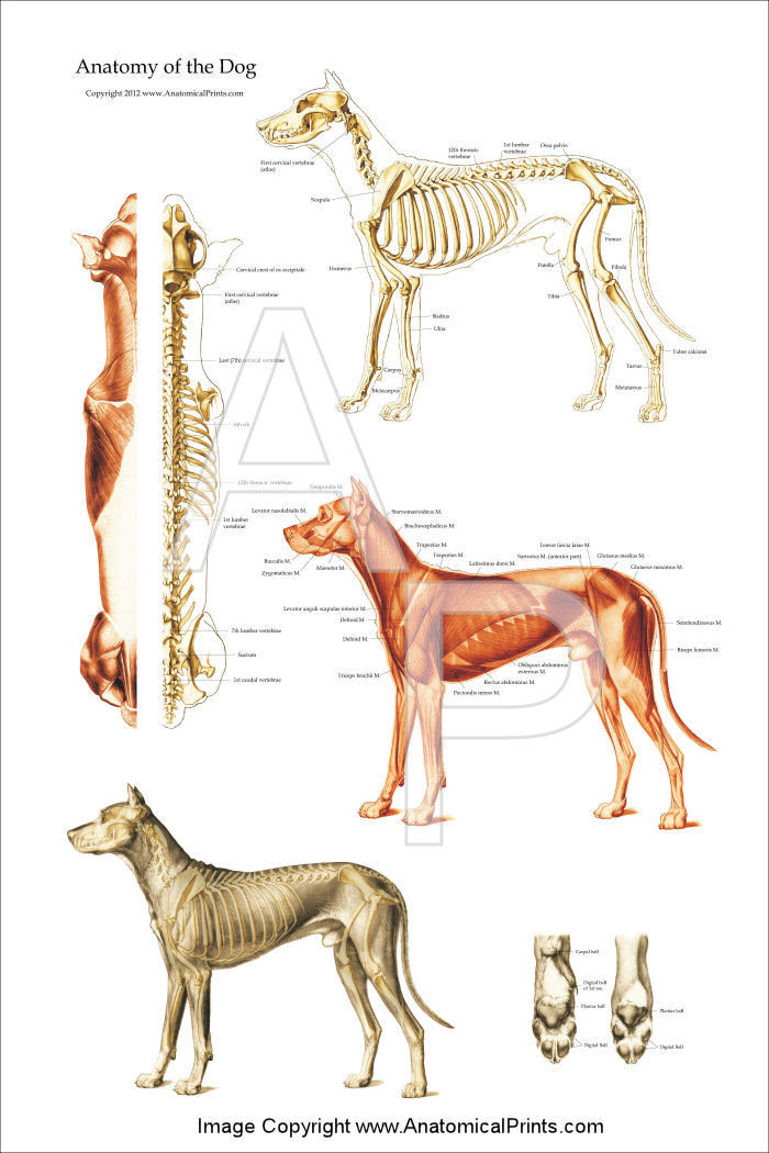 Dog Muscular And Skeletal Chart Clinical Charts And Supplies