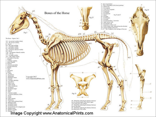 Horse Skeleton Chart Clinical Charts And Supplies