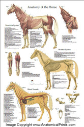 Equine Anatomy Poster