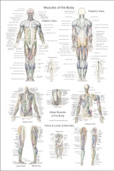 Muscle's of the Body and Extremities Chart