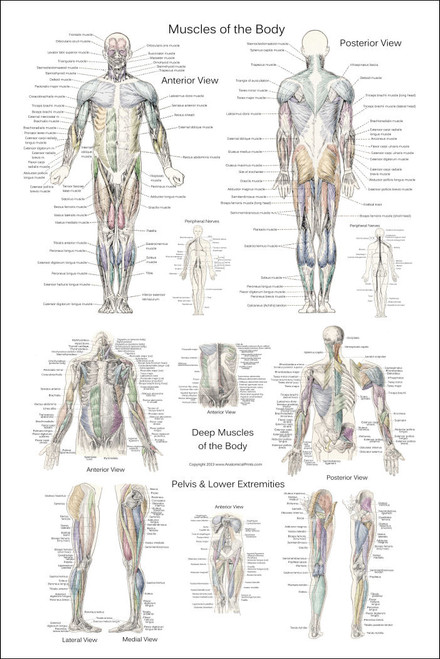 Anterior And Posterior Muscles Of The Human Body Poster