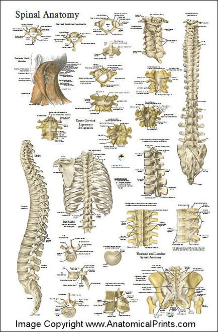 spinal anatomy chart