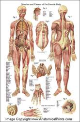 Female Anatomy Poster 24 x 36