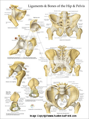 Ligaments & Bones Of The Hip And Pelvis Poster - Clinical Charts and ...