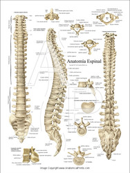 Spinal Anatomy Spanish Poster