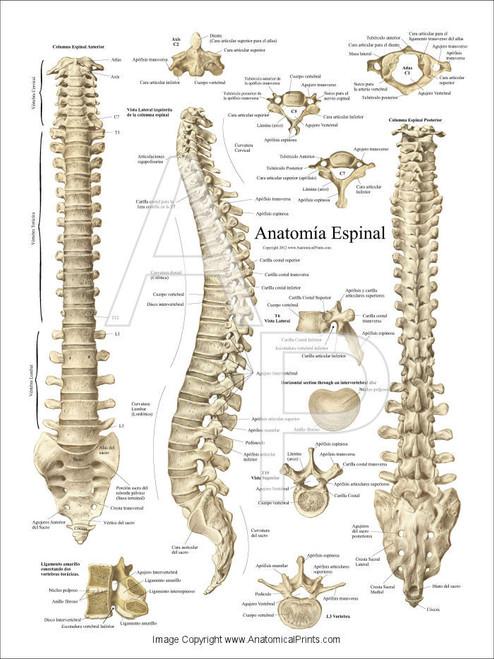 Spinal Anatomy Spanish Poster