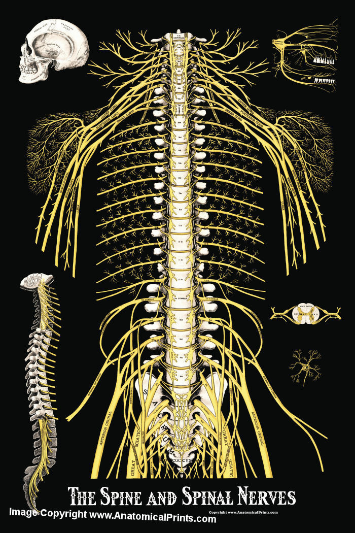 The Spine And Spinal Nerves Poster Clinical Charts And