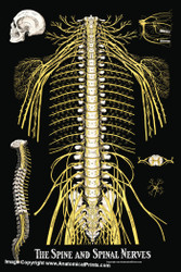 Spinal Nerves Poster