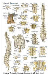 Spinal Anatomy Poster