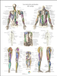 Musculo Anmatomia Posters