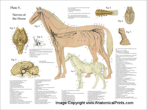 horse nervous system poster clinical charts and supplies. Black Bedroom Furniture Sets. Home Design Ideas
