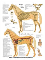 Equine Skeletal and Vascular System Poster
