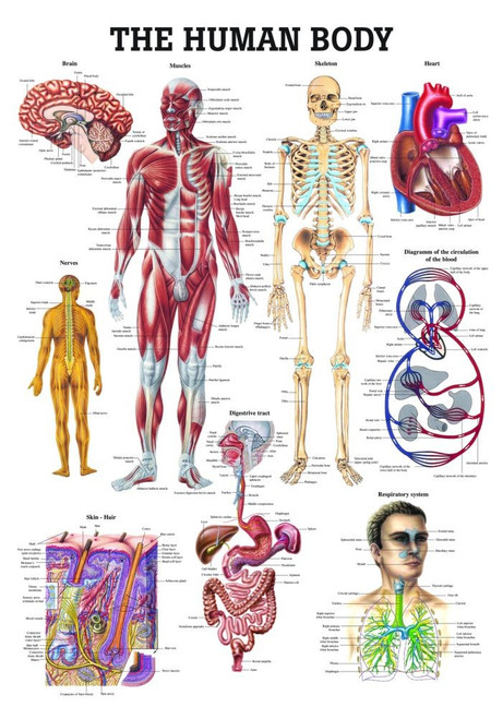 The Human Body Chart - Clinical Charts and Supplies