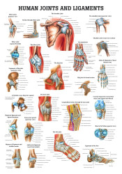 Human Joints Poster