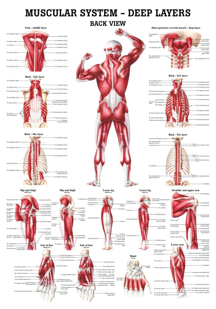 Human Muscular Systems Deep Layers Of The Back Poster Clinical