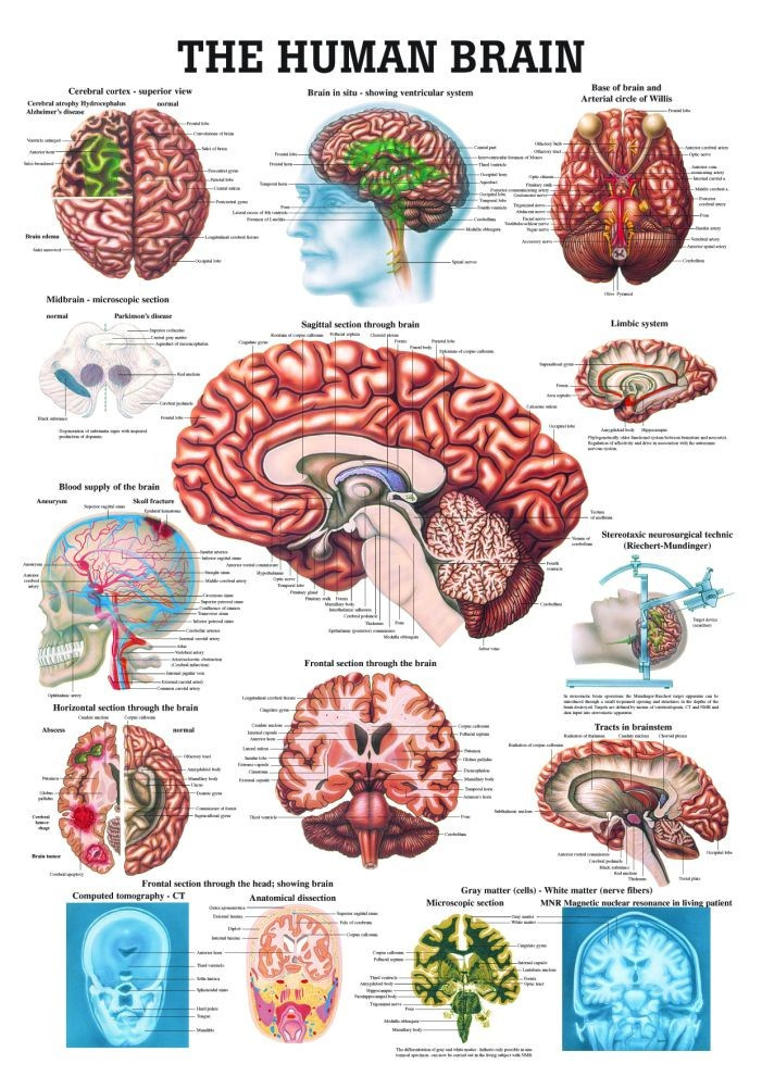 Human Brain Poster Clinical Charts And Supplies
