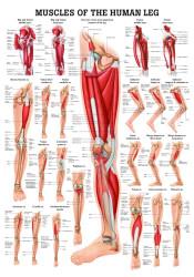 Leg Muscles Poster
