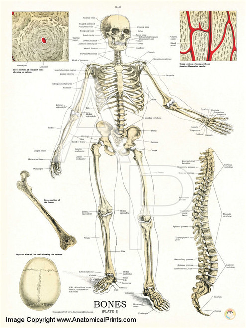 Human Skeleton Anatomy And Physiology Poster Clinical Charts And