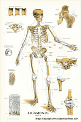 Joints and Ligaments Chart