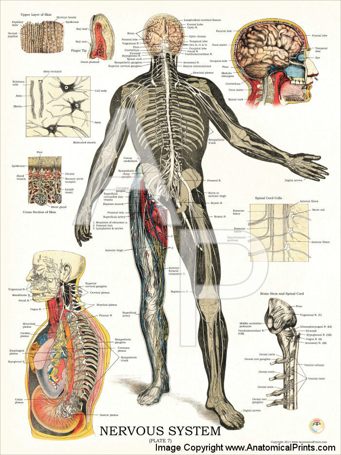 Nervous System Anatomy And Physiology Poster Clinical Charts And
