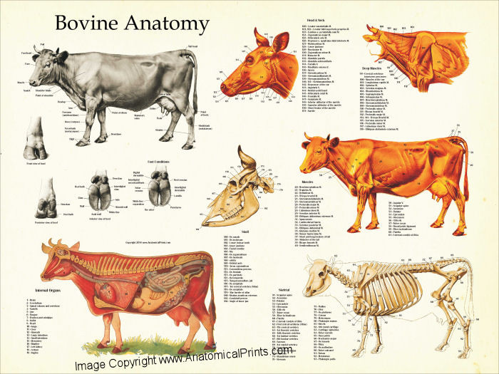 CowAnatomy18x24__40640.1405438038.1280.1280?c=2 cow anatomy poster clinical charts and supplies
