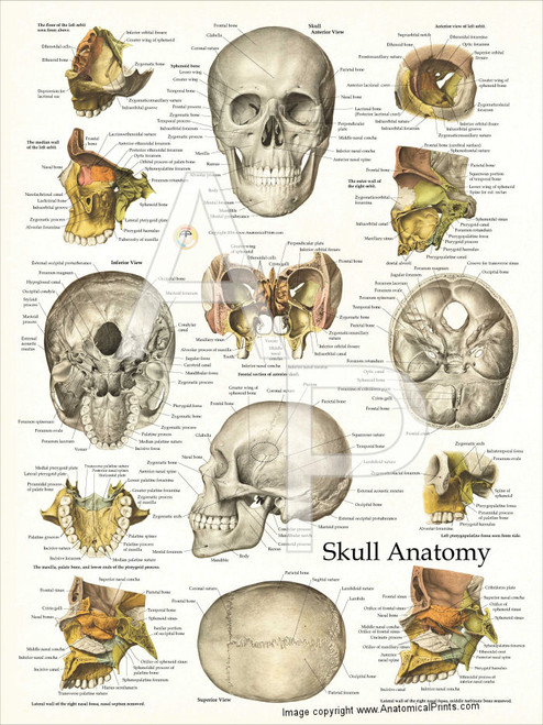 Skull Anatomy and Facial Structures Poster - Clinical ... Skull X Ray Views Chart