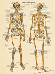 The Skeletal System Ligaments and Tendons Poster